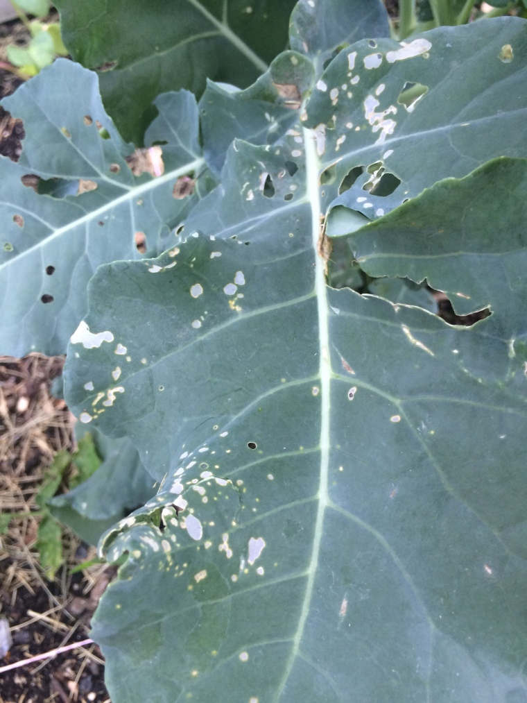 broccoli caterpillars garden pest