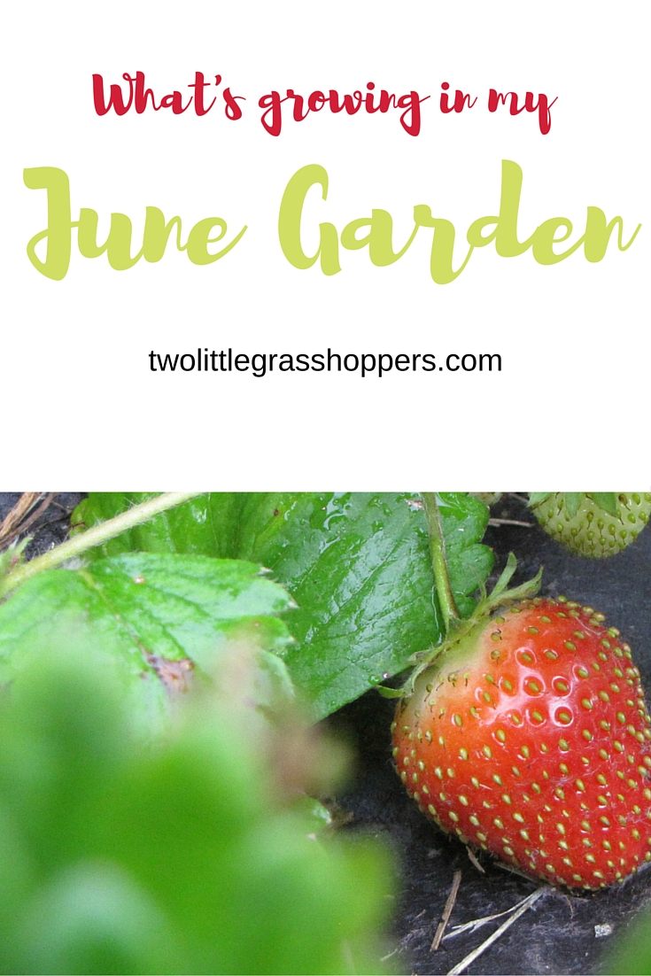 In June, the garden really starts rocking. See what warm weather veggies are taking off and which cool weather vegetable need to be taken out.