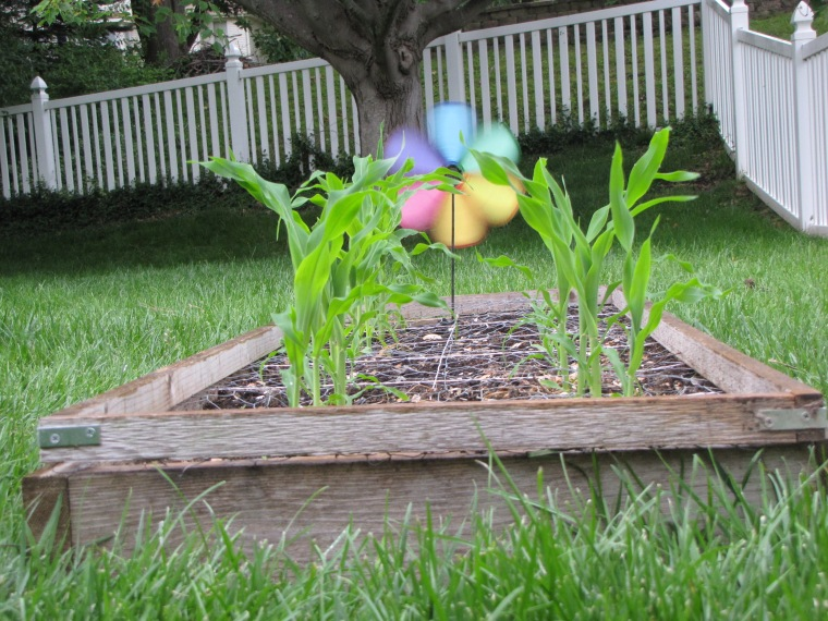 square foot garden corn